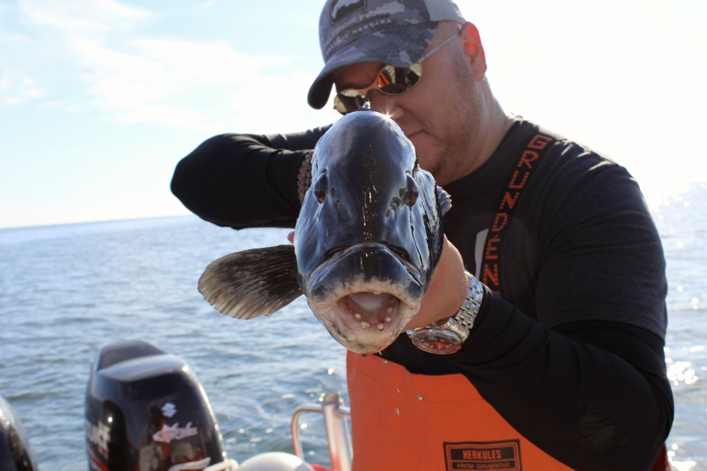 Fat spring Tautog caught aboard Coastal Charters Sportfishing.