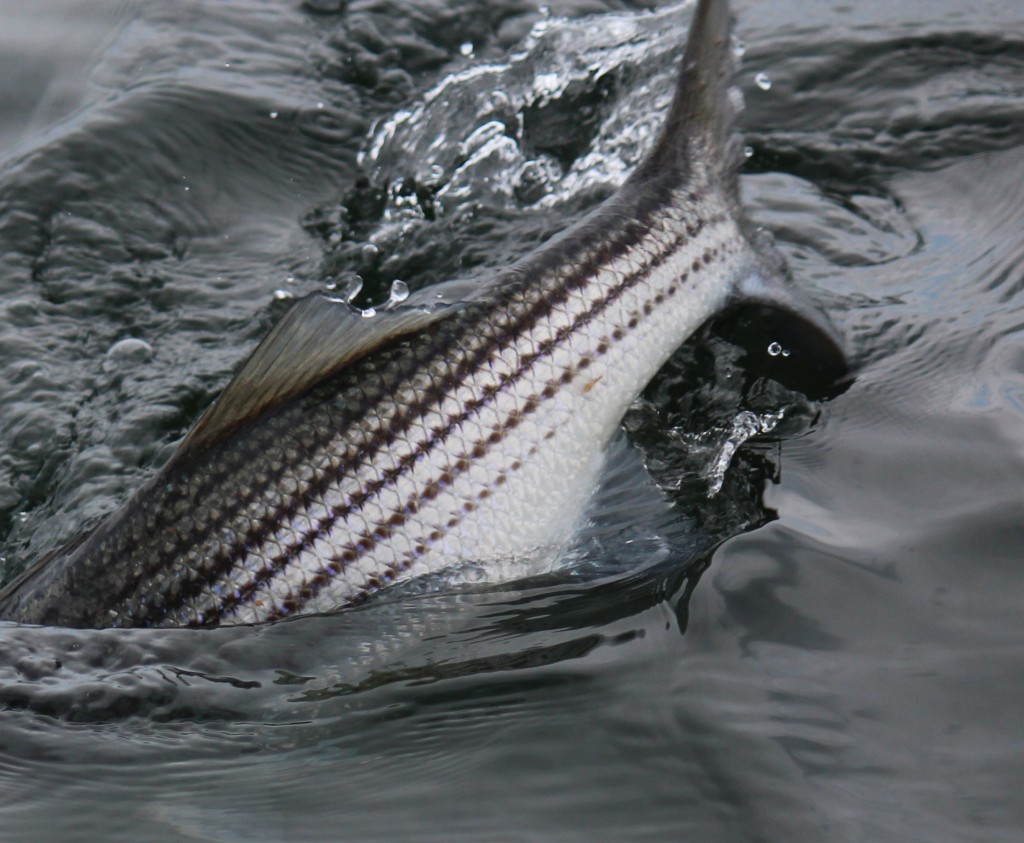 A striped bass breaks the surface as it feeds on a fresh hatch of cinder worms in Narragansett Bay, RI.