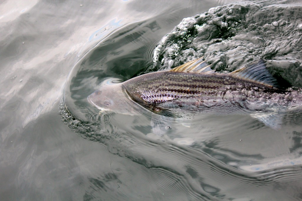 A nice healthy striped bass caught with light tackle on an  artificial lure aboard Coastal Charters Sportfishing