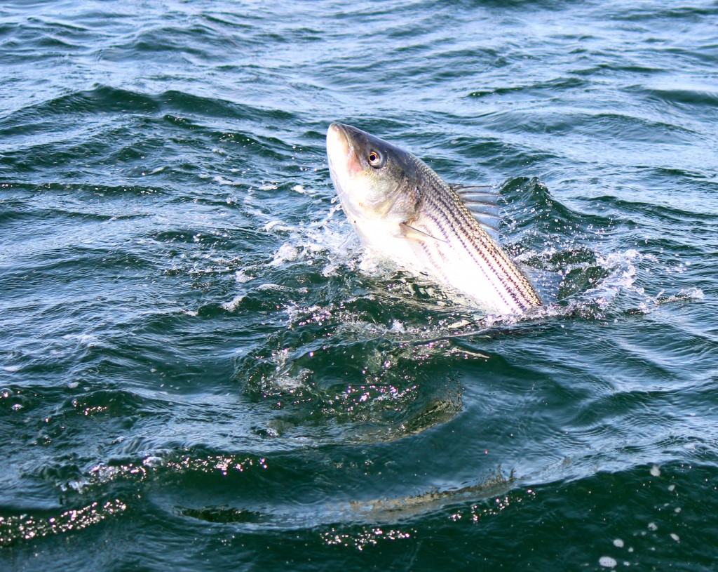 A healthy striped bass caught on light tackle aboard Coastal Charters Sportfishing