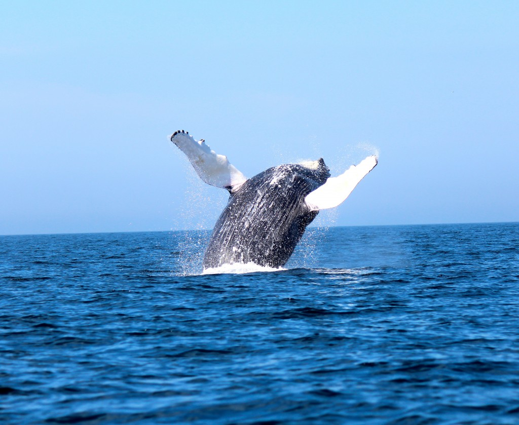 A humpback having some fun off Cape Cod , MA. Photo taken aboard Coiastal Charters Sportfishing, where most days the tuna hunt yields plenty of whale sightings!