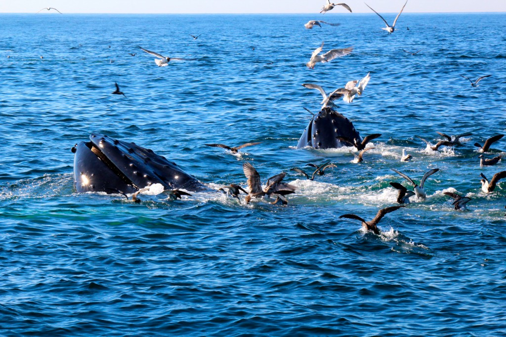 Coastal Charters Sportfishing's Dusky must look like another whale from underneath, it always attracts the humpbacks right to the bow of the boat!