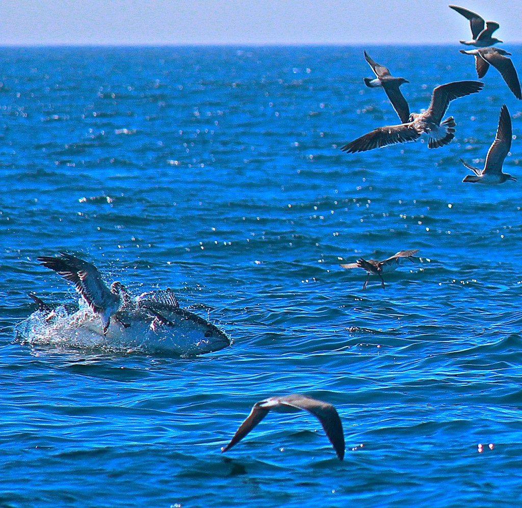 """Two World's Colliding"" A shearwater smacks right into the side of a breaching bluefin tuna off Cape Cod MA."