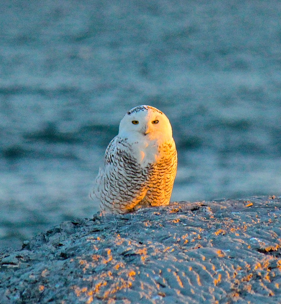 Snowy Owl perched on the shoreline off Sachuest Point, Middletown, RI in December of 2013..rare sight around these parts!